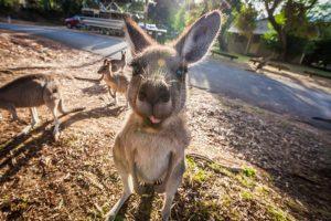 Палеонтологи выяснили происхождение кенгуру