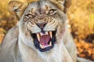 В России львица напала на ребенка в цирке (видео)