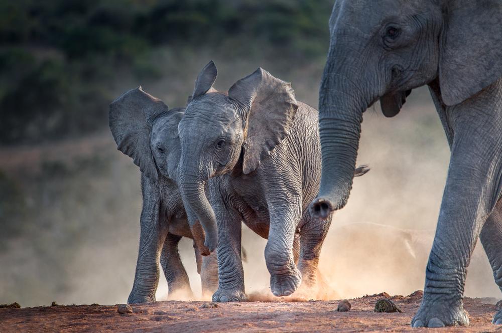 Для чего африканским слонам морщины?