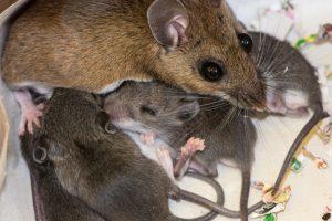 Ученые получили потомство от двух самцов