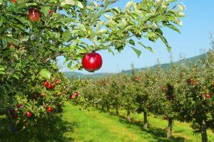 Ферма в Германии бесплатно раздала 30 тонн яблок