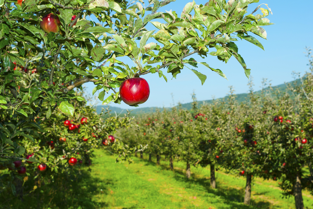 Ферма в Германии бесплатно раздала 30 тонн яблок.Вокруг Света. Украина