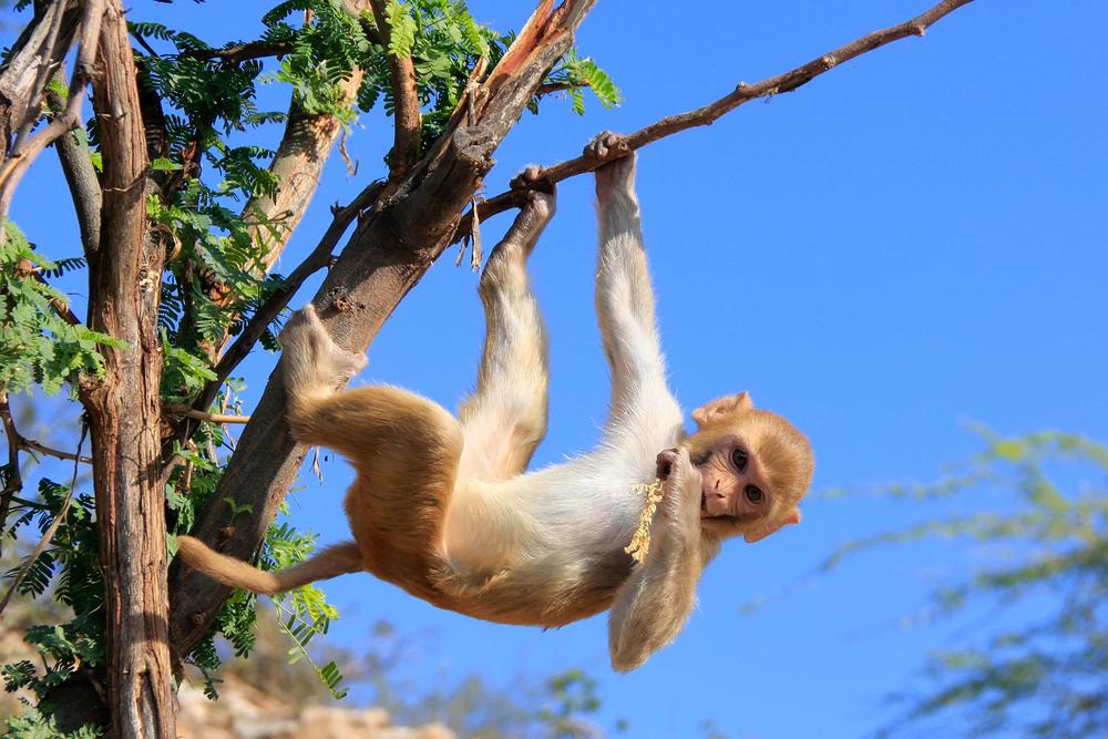 В Индии обезьяны забили мужчину кирпичами