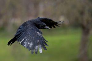 Вороны умеют мастерить инструменты из нескольких частей