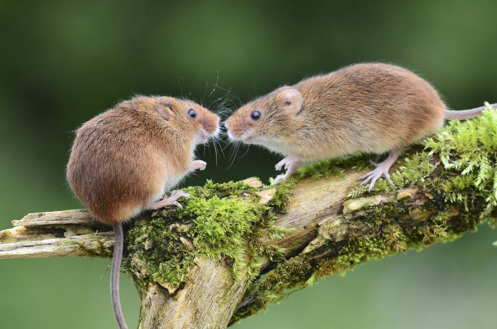 Ученые открыли секрет счастливого брака... мышей.Вокруг Света. Украина