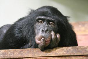 Ученые считают, что шимпанзе верят в бога