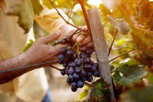Мигранты возвращаются в Ливан, чтобы заниматься виноделием