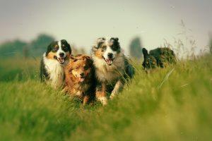 Собаки помогли древним скотоводам заселить Европу и Азию