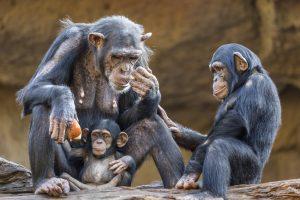 Шимпанзе делятся едой только с близкими
