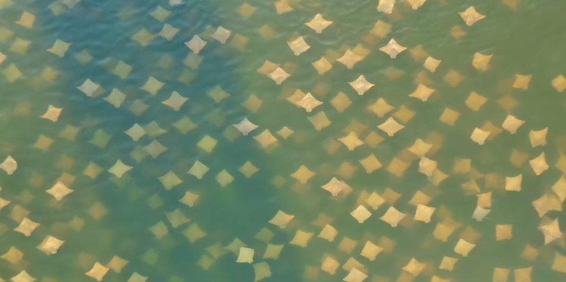 «Осенний листопад»: во Флориде началась миграция скатов.Вокруг Света. Украина