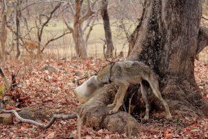 В Индии волк застрял головой в пластиковой бутылке