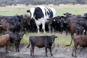 В Австралии бык вырос до двух метров. И этим спас себе жизнь
