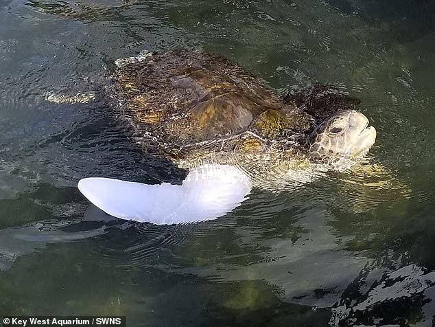 Спасатели выпустили в океан черепаху с протезом вместо плавника