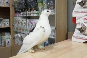 Больной голубь пришел к ветеринарам за помощью