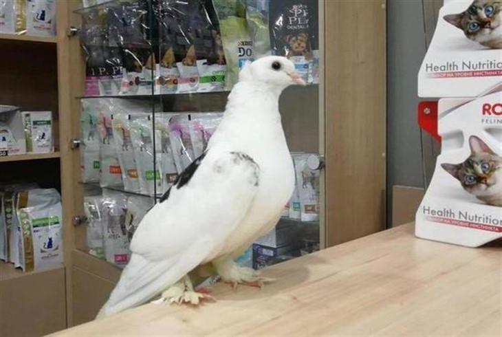 Больной голубь пришел к ветеринарам за помощью.Вокруг Света. Украина