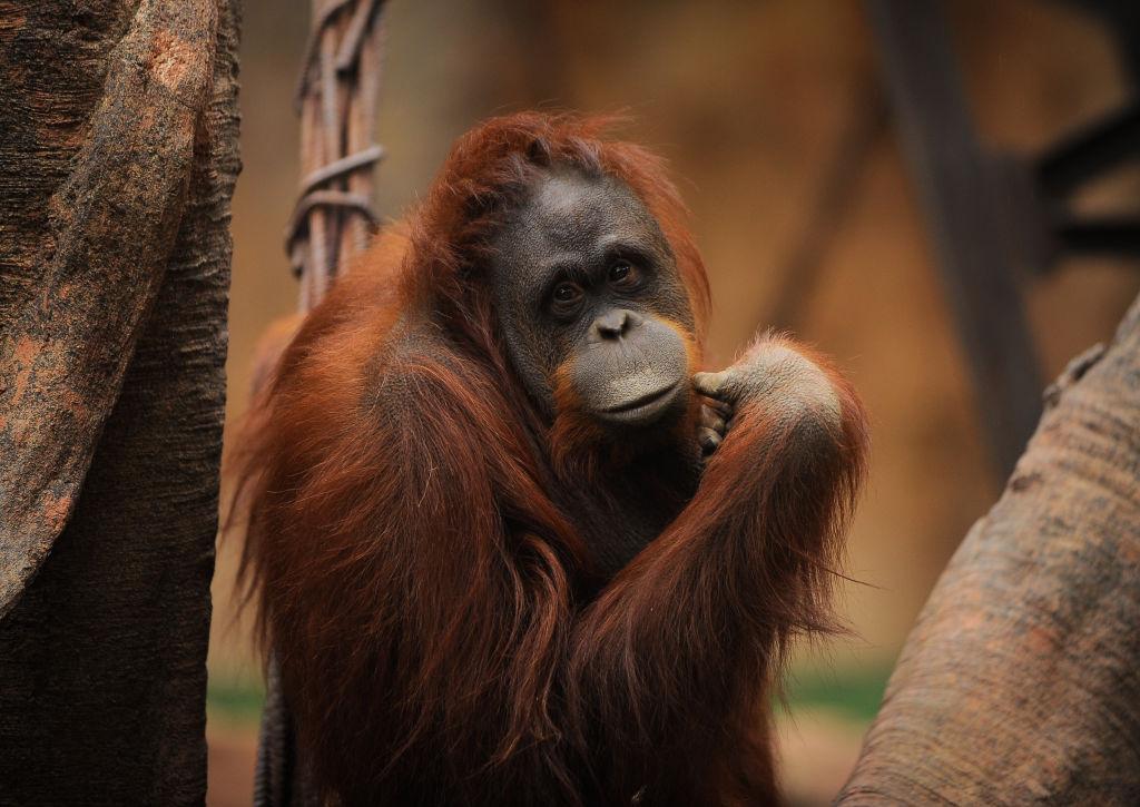 Орангутаны Индонезии вымирают ради пальмового масла