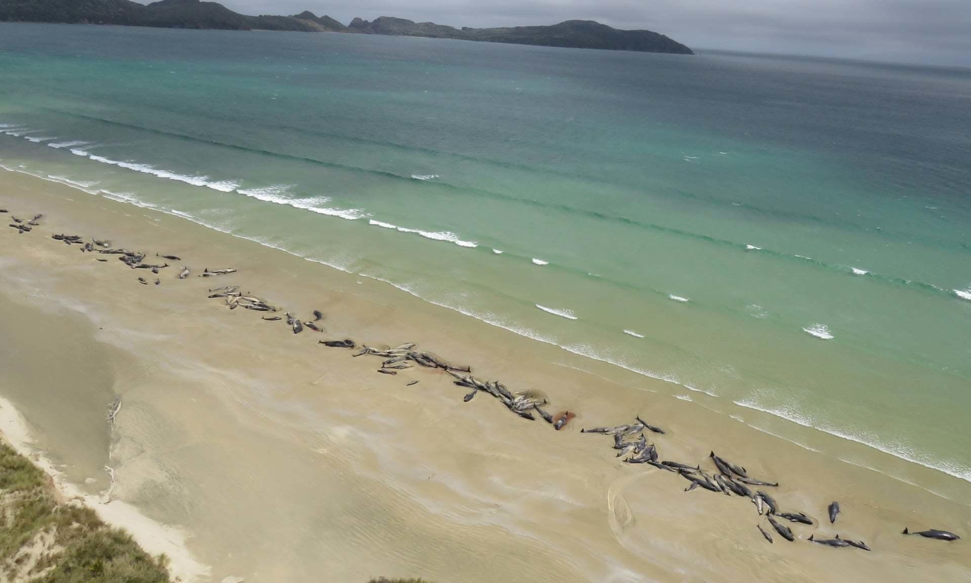 В Новой Зеландии 140 дельфинов выбросились на берег