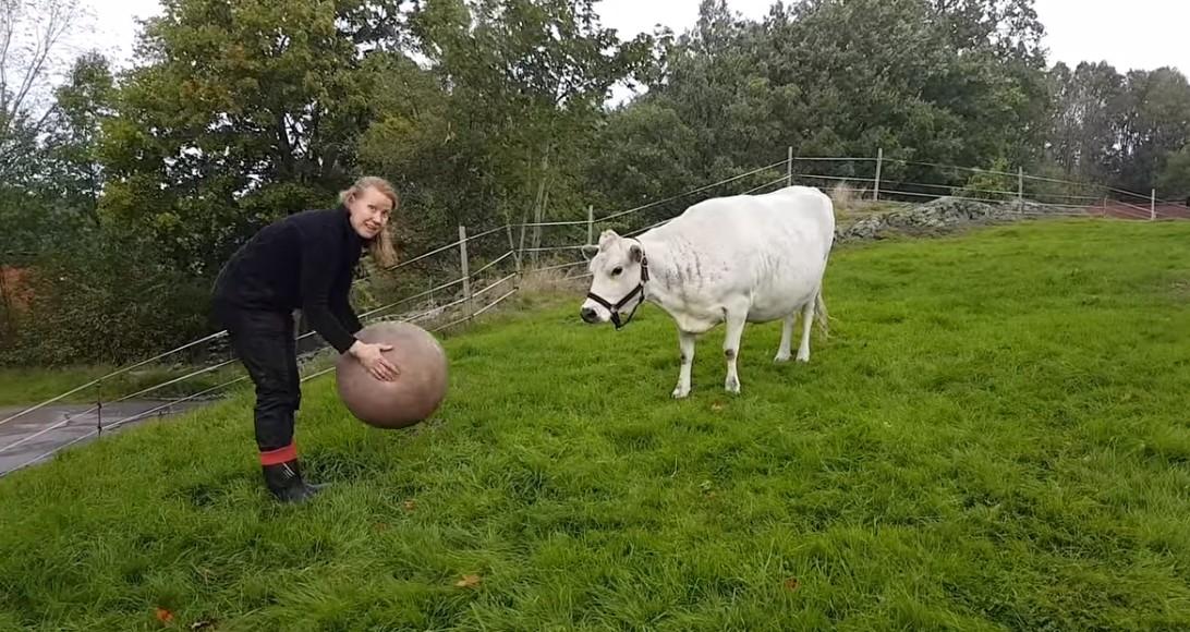 В Швеции корова научилась играть в мяч