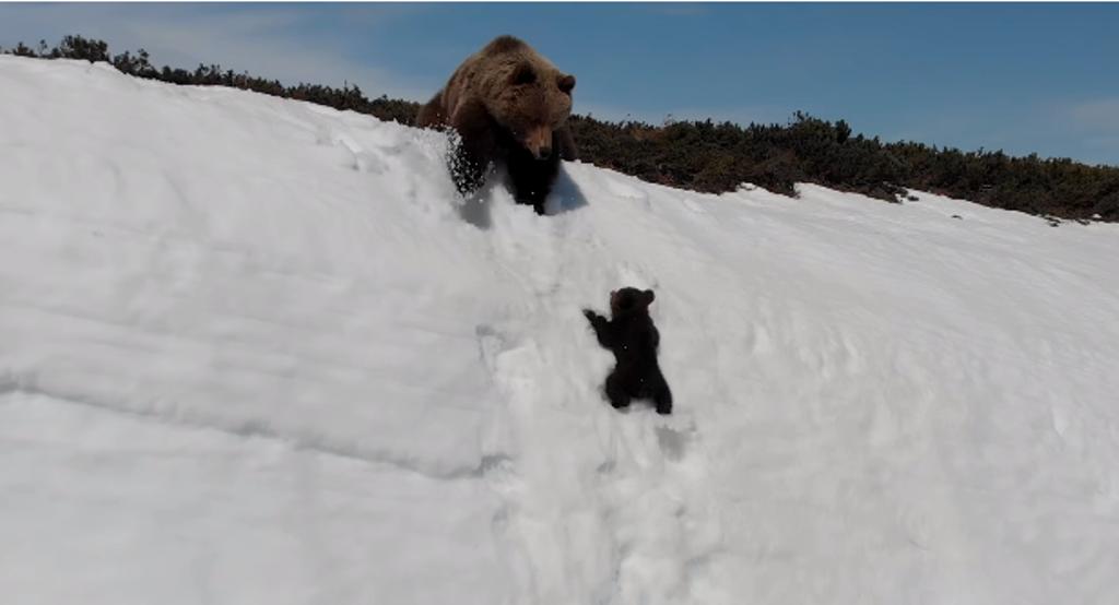 Медвежонок чуть не погиб из-за дрона: зоозащитники против такой съемки