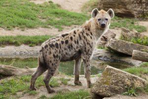 Зоологи выяснили, почему у гиен доминируют самки