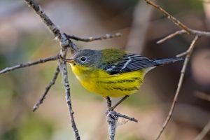 3 в 1: ученые нашли птицу – представителя трех видов