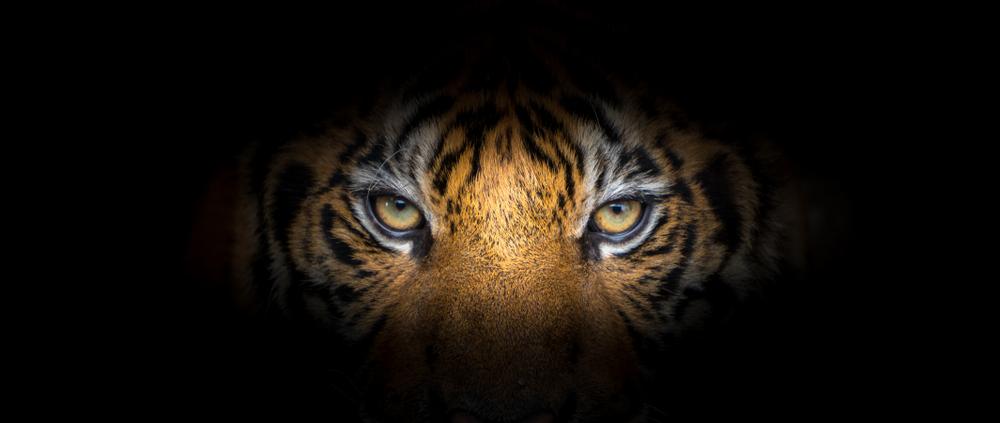 В Индии застрелили тигрицу-людоеда