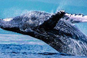 У горбатых китов есть свои шлягеры — биологи
