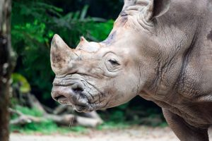 У северных белых носорогов появилась новая надежда на выживание
