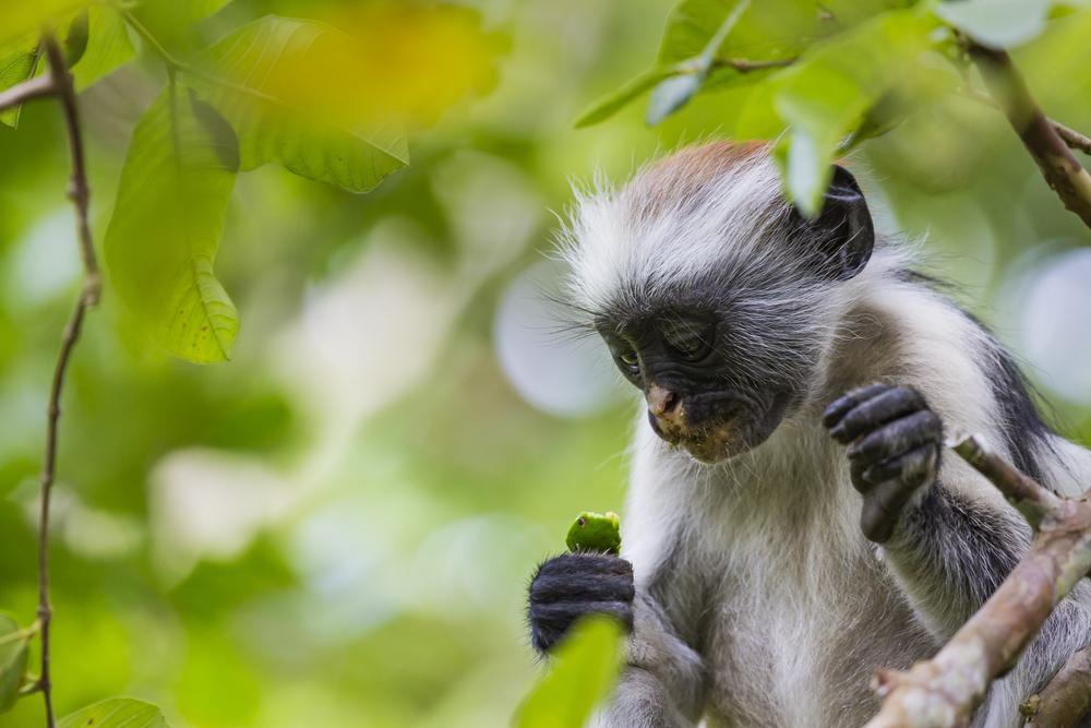 В Кении нашли окаменелости одной из самых маленьких обезьянок в мире