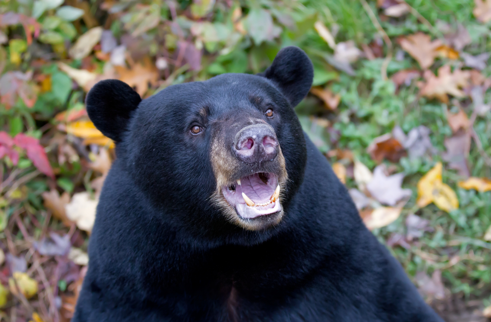 Американец спас свою собаку из пасти медведя