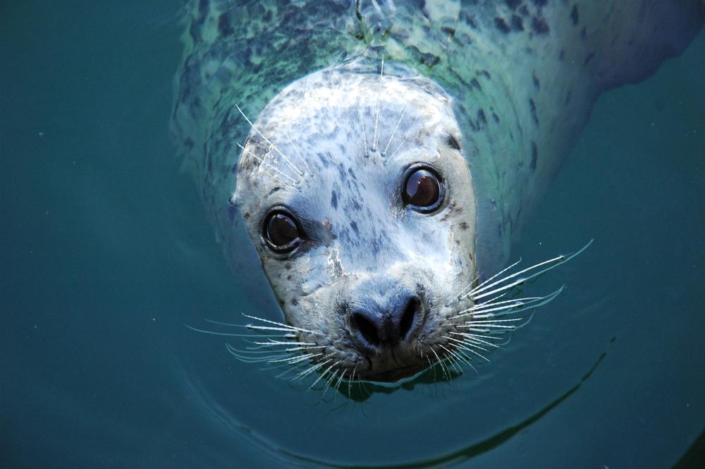 Некоторые виды тюленей чудом избежали вымирания