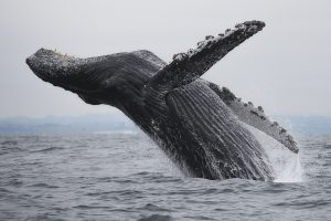 Человек лишает китов энергии, необходимой для продолжения рода