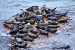 В Шотландии рыбак застрял на скале, спасаясь от тюленей