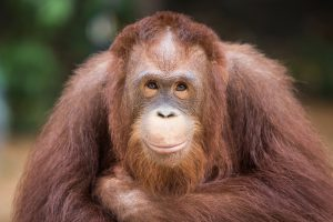 Орангутаны оказались умнее, чем думали ученые