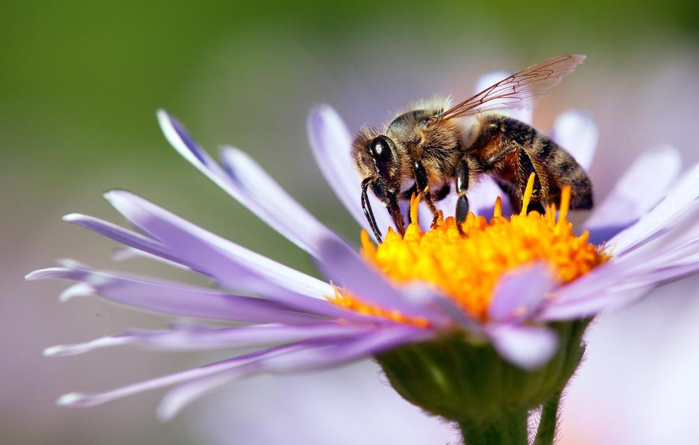 Зоологи обнаружили пчелу от двух отцов, но без матери