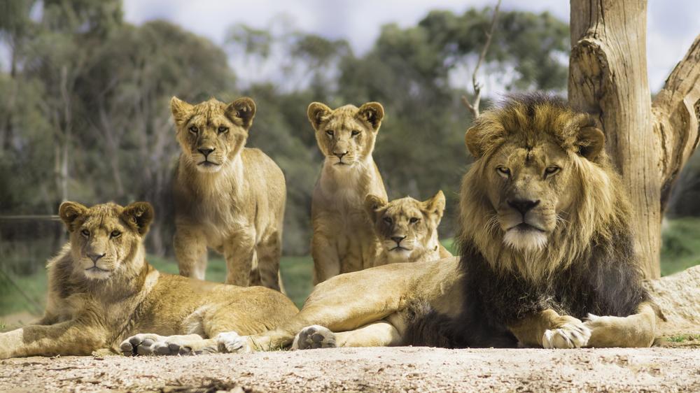 Планета без львов: ученые предупреждают, что большие дикие кошки скоро исчезнут