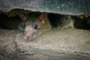 Крысиный апокалипсис: глобальное потепление умножит популяцию грызунов