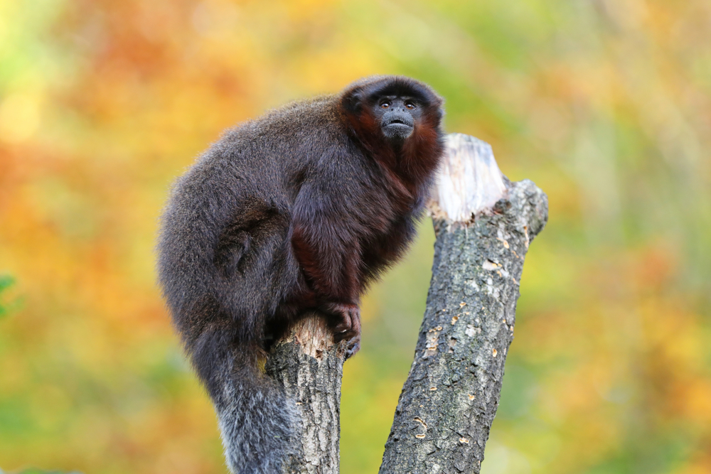 На Ямайке обнаружили необычную ископаемую обезьяну