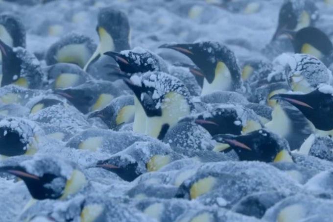 Съемочная группа BBC спасла пингвинов в Антарктиде