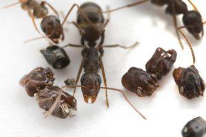 Во Флориде муравьи украшают скальпами врагов муравейники