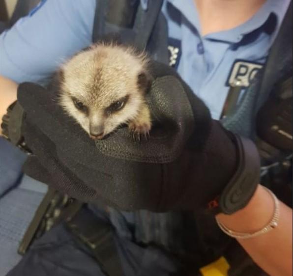 Австралиец украл из зоопарка понравившегося суриката