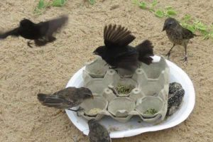 Кормление птиц фастфудом влияет на естественный отбор