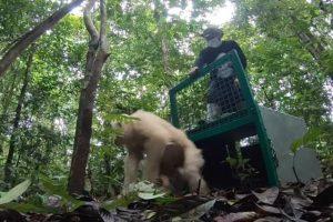 Единственного в мире орангутана-альбиноса вернули в дикую природу