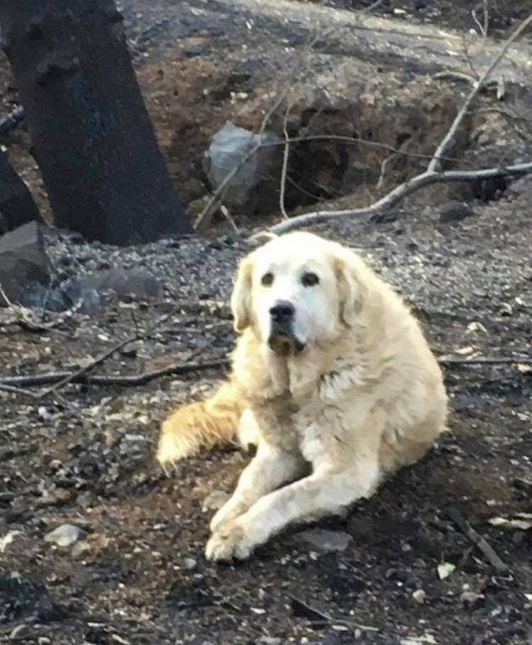 В Калифорнии пес ждал хозяев у сгоревшего дома целый месяц