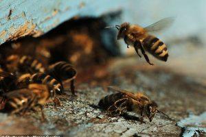 Ученые обнаружили, что пчелы считают всего четырьмя клетками мозга