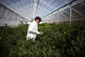 В Канаде не хватает специалистов по выращиванию каннабиса