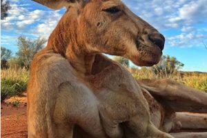 В Австралии умер самый мускулистый в мире кенгуру