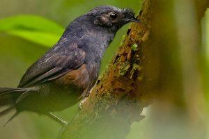 Самую редкую в мире птицу нашли в Бразилии