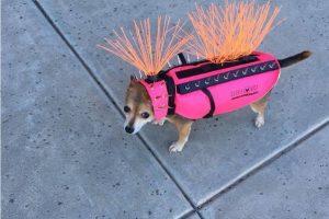 В США собак защищают от койотов бронежилетами