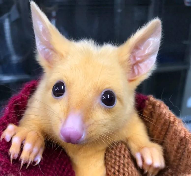 В Австралии нашли живого Пикачу